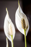 Close up of a white flower of an indoor plant in color Stock Photography