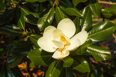 Close-up of white flower of magnolia grandiflora with its pistol. The magnolia grandiflora is an ornamental tree  with large and shiny leaves  and white fleshy Royalty Free Stock Image