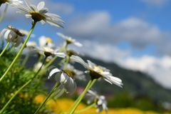 Close up white flower in the park. Close up white flower in the garden and bokeh panoramic mountain Royalty Free Stock Photography
