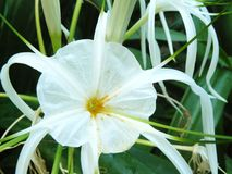 Close up of white flower Spider lily Royalty Free Stock Photo