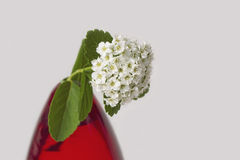 Close-up of white flower, spirea, in red vase. Close-up of the white flower, birchleaf spirea or Spiraea betulifolia, in red vase Stock Images