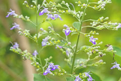 Close up white flower Vitex trifolia Linn or Indian Privet is he Royalty Free Stock Image