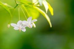Close up of white flower(Wrightia religiosa ,Apocynaceae) Royalty Free Stock Photo