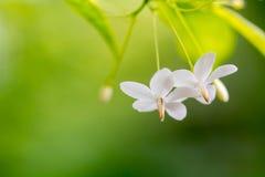 Close up of white flower(Wrightia religiosa ,Apocynaceae) Stock Image