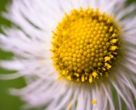 Close up of white flower with yellow center Stock Photo