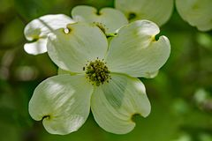 Close-up of White Flowering Dogwood Flower. A close-up of a white flower on a flowering dogwood tree on a beautiful spring day located in the Blue Ridge royalty free stock image