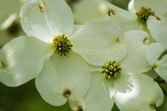Close-up of White Flowering Dogwood Flowers. A close-up of a group white flowers on a flowering dogwood tree on a beautiful spring day located in the Blue Ridge stock image