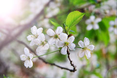 Close-up white flowers of a cherry tree. Macro of a cherry tree flower nature background Stock Photography
