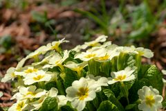 Close-up of white flowers of forest Common Primrose Primula acaulis or primula vulgaris royalty free stock photography
