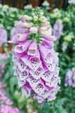 Digitalis purpurea flowers closer look. Close-up white flowers of foxglove - Digitalis purpurea. Popular garden plant. Selective focus stock photos