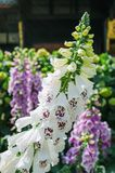 Digitalis purpurea flowers closer look. Close-up white flowers of foxglove - Digitalis purpurea. Popular garden plant. Selective focus royalty free stock photo
