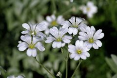 The close-up white flowers on a green background. The close-up white flowers on a green lawn Stock Images