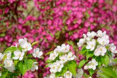 Malus micromalus. The close-up of white flowers of Malus micromalus Stock Photography