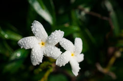 Close-up of white flowers with water drops in the garden / Macro of white flower with drops of water in forest. A flower, sometimes known as a bloom or blossom royalty free stock image
