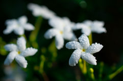 Close-up of white flowers with water drops in the garden / Macro of white flower with drops of water in forest Stock Photos