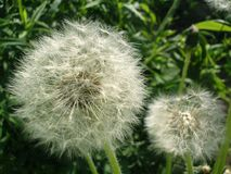 Close up of white fluffy balls of dandelions on the background o stock photos