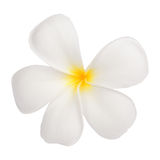 Close up of white frangipani flower or Leelawadee flower on whit Stock Images