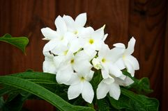 Bouquet white frangipani flowers blooming on tree stock images