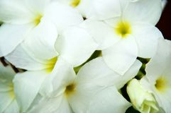 Close up of bouquet white frangipani flowers stock photo