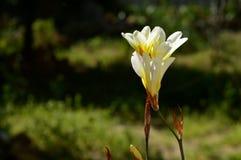 Close-up of White Freesia Flowers, Nature stock photos
