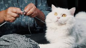 Close up white furry cat sitting near woolen yarn while elderly woman knitting sweater or scarf for winter. Grandmother royalty free stock image