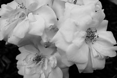 Close up white garden roses in black and white royalty free stock images