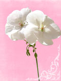 Close-up white geranium Royalty Free Stock Photography