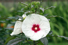 Perennial Hibiscus Shrub with white flower. Close up of white giant hibiscus flower with red center and dark green leaves. This plant belongs to the mallow Royalty Free Stock Photos