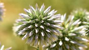 Close up of white globe thistle. Enchinops bannaticus in Iran stock video footage