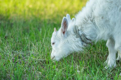 Close-up of white goat head. Close-up of young white goat head that eats the green juicy grass Stock Photos