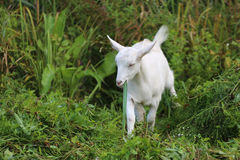 Close-up white goat in the meadow on a sunny day in summer Stock Photo