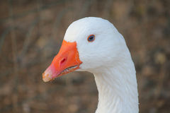 Close-up white goose. A close-up of a white goose Stock Photos