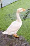 White goose in farm. Close up white goose in farm stock photography
