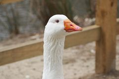 Close up of White Goose. Close up of a White goose with intense stare Royalty Free Stock Image