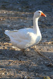 Close up of a white goose on poultry yard Royalty Free Stock Photography