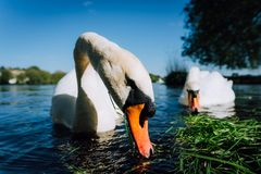 Close up of white grace swan couple stretching his neck and head towards the camera. Alster lake on a sunny day in. Hamburg Royalty Free Stock Photo