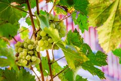 Close up of white grapes on a vine royalty free stock photos
