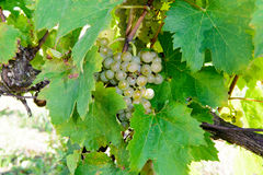 Close up of white grapes Royalty Free Stock Images