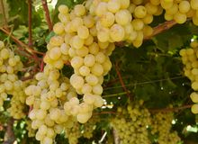 A close up of white grapes in a wine vineyard Stock Image