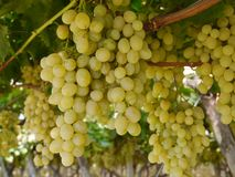 A close up of white grapes in a wine vineyard Royalty Free Stock Image