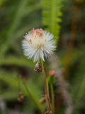 Close up white grass flower. On nature background Royalty Free Stock Photo
