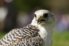 Close-up of white gyrfalcon with beak open Royalty Free Stock Images