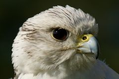 Close-up of white gyrfalcon head in profile Stock Photography