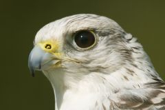 Close-up of white gyrfalcon head in sunshine Stock Images