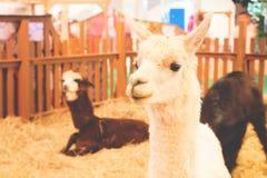 Close up white hair alpaca, Indoor zoo. Funny face animal Royalty Free Stock Photos