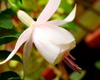 Close up of White Hawkshead Fuchsia Maegllanica - Hummingbird or Hardy Flower. This is a close up photograph of a White Hawkshead Fuchsia magellanica flower Stock Photos