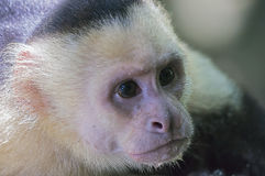 Close-up on white headed capuchin monkey. Close-up white-headed capuchin monkey Cebus capucinus in National Park Manuel Antonio - Costa Rica royalty free stock image