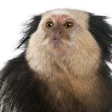 Close-up of White-headed Marmoset, Callithrix geoffroyi. In front of white background royalty free stock images