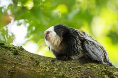 Close up of a white-headed marmoset Callithrix geoffroyi prima stock images