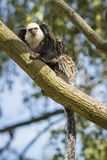 Close up of a white-headed marmoset Callithrix geoffroyi prima. Te foraging in a tree. Also known as the tufted-ear  or Geoffrey`s marmoset, is a marmoset Stock Photos